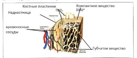 гдз лабораторная работа по биологии 8 класс микроскопическое строение кости